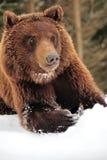 Wilde bruin draagt stock foto's