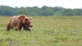 Wilde bruin draagt stock footage