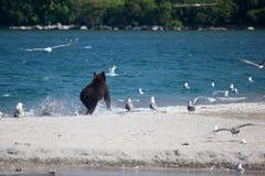 Wilde bruin draagt grijze looppas langs blauw Kronotsky-meer royalty-vrije stock afbeeldingen