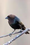 Wilde bruin-Geleide Cowbird die op Tak wordt neergestreken royalty-vrije stock foto's