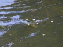 Wilde bruine forel/Salmo-trutta die een vlieg in de rivier nemen royalty-vrije stock foto's