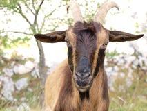 Wilde bruine geit Royalty-vrije Stock Afbeeldingen