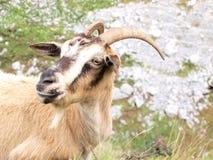 Wilde bruine geit Stock Afbeelding