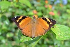 Wilde Bruine Vlinder Stock Foto