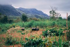 Wilde Buffalos in the jungle of Luang Prabang, Laos stock photos