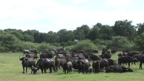 Wilde Buffels in de Afrikaanse savanne Afrika van Kenia stock video