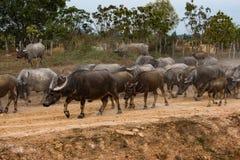 Wilde buffels in de wateren van Mekong in Kambodja, Azi? royalty-vrije stock afbeeldingen