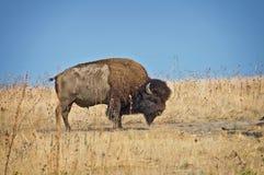 Wilde buffels op Antilopeeiland, Great Salt Lake, Utah de V.S. Stock Foto
