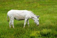 Wilde Burro in Custer State Park stock afbeeldingen