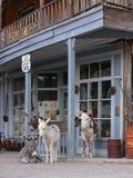 Wilde Burros langs Route 66 in Oatman Arizona Royalty-vrije Stock Afbeeldingen
