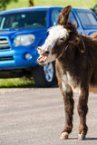 Wilde burros op de weg royalty-vrije stock foto