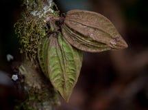 Wilde cacao Stock Fotografie