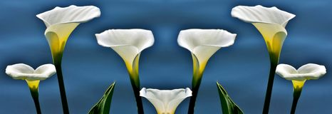 Wilde Calla collage. Close up of wilde Calla on a lake Royalty Free Stock Image
