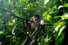 Wilde capuchin aap, cebus die albifrons, tussen bladeren in de wildernis of tropisch regenwoud ontspannen stock foto's
