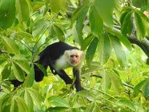 Wilde Capuchin Aap in de wildernis Costa Rica royalty-vrije stock afbeelding