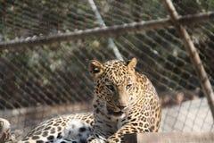 Wilde Cat In Cage Stock Afbeelding