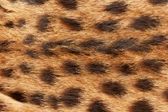 Wilde cat, serval fur pattern texture. Close up soft focus natural background Royalty Free Stock Photos