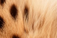 Wilde cat, serval fur pattern texture. Close up soft focus natural background Royalty Free Stock Image