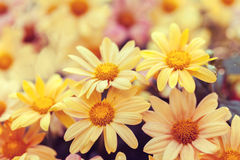 Wilde chamomile flowers Royalty Free Stock Photo