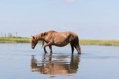 Wilde Chincoteague-Poney die in het water lopen Stock Foto's