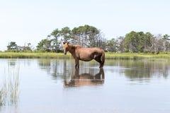Wilde Chincoteague-Poney die in het water lopen Stock Fotografie