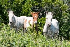 Wilde Chincoteague-Poney - nieuwe veulennen Stock Fotografie