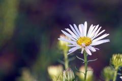 Wilde chrysant Royalty-vrije Stock Foto's