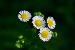 Wilde chrysant Royalty-vrije Stock Afbeeldingen