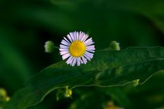 Wilde chrysant Royalty-vrije Stock Afbeelding