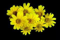 Wilde Chrysantheme Stockfoto