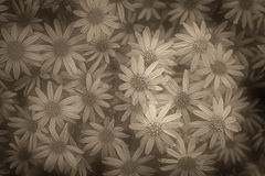 Wilde Chrysantheme Stockfoto