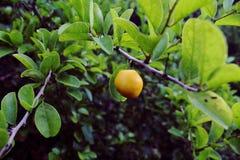 Wilde citroenboom Stock Fotografie