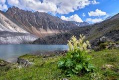 Wilde compactum Linnaeus van rabarberrheum is dicht bloeiend Stock Afbeeldingen