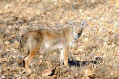 Wilde coyote Stock Afbeeldingen