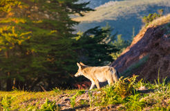 Wilde Coyote in San Francisco stock fotografie
