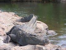 Wilde croc royalty-vrije stock foto's