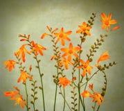 Wilde crocosmiabloemen royalty-vrije stock foto's