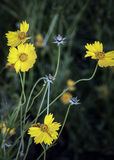 Wilde Crysanthemums Royalty-vrije Stock Foto's