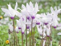 Wilde Cyclamen Blüte im Wald Lizenzfreie Stockfotos