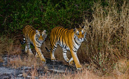 Wilde Dämmerung des Tigers zwei morgens im Dschungel Indien BANDHAVGARH NATIONALPARK Madhya Pradesh Stockfotografie