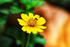 Wilde dünne leaved Sonnenblume Stockbild