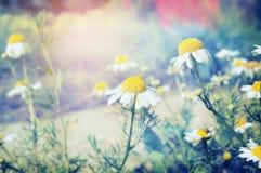 Wilde daisies in park or garden, toned Stock Photos
