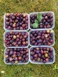 Wilde Damastpruimfruit en Bakjes Royalty-vrije Stock Afbeeldingen