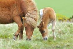 Wilde Dartmoor Mutter und Fohlen Stockbilder