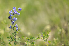 Wilde de lentebloem - blauwe wild-indigo Royalty-vrije Stock Afbeeldingen