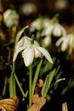 Wilde de lentesneeuwvlokken in een bos stock afbeelding
