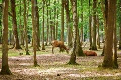 Wilde deers in gemengd pijnboom en vergankelijk bos royalty-vrije stock afbeelding