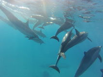 Wilde Delphinhülse Lizenzfreie Stockfotos