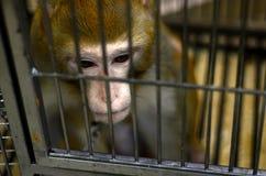Wilde die aap in een kooi wordt gesloten Stock Afbeelding