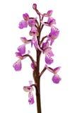 Wilde die Green-winged Orchidee over wit wordt geïsoleerd - Anacamptis-moriosubsoort picta Royalty-vrije Stock Foto's